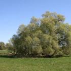 Solitär auf Oderwiese