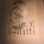 Detailzeichnung Linnés
