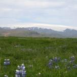 Lupinen und Gletscher