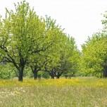Unter Obstbäumen