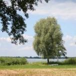 Solitär stehender Baum am Ufer des Großen Schwielochsees