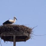 Storch im Storchennest
