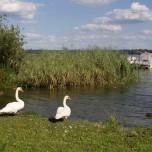 Schwanenpaar am Großen Schwielochsee