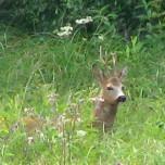 Rehbock im Gras