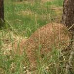 Neuer Ameisenhaufen