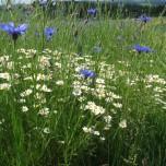 Feldblumen am Donausteig