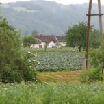 Gemüsefeld in der Nähe der Donau