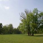 Solitärer Baum im Park an der Ilm