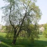 Solitärer Baum in Weimar