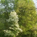 Blühender Baum als Blickfang