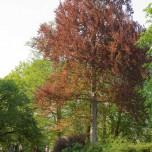 Solitärer roter Baum im Park an der Ilm