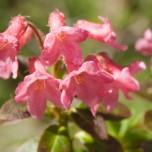 Blüten der Alpenrose