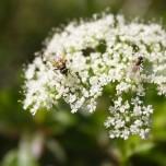 Zwei Fliegen auf weißer Blüte