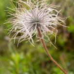 Kuhschelle Blüte