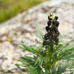 Blüte in den Alpen