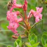 Blüte der Alpenrose