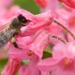 Naschendes Insekt