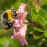 Naschende Biene an Alpenrose