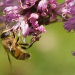 Insekten an Blüte