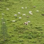 Ziegen und Kuh im Großarltal