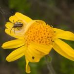 Spinne auf gelber Blüte