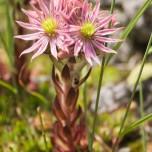 Uns unbekannte Blume in den Alpen