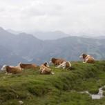 Weiden in bester Lage - Kühe mit Ausblick