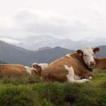Kühe am Bergrand