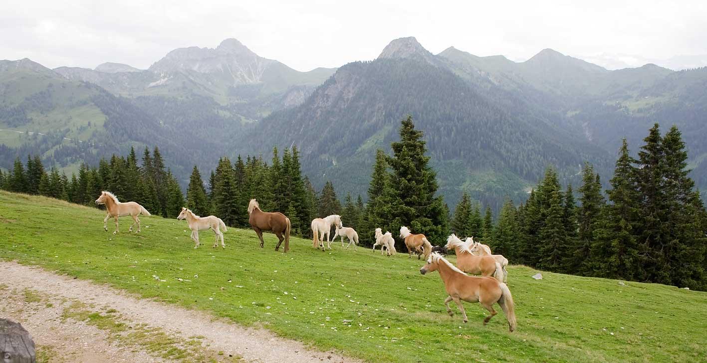 Haflinger stürmen auf die Wiese vor der Almhütte