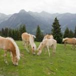 Herde von Haflinger - Haflingerherde