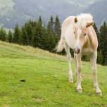 Haflinger in den Alpen