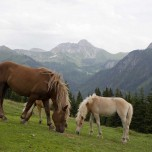 Grasende Haflinger in den Alpen