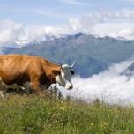 Kuh und Wolken in den Alpen