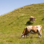 Kühe auf den Bergen