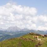 Kühe und Pferde in den Alpen bei Großarl