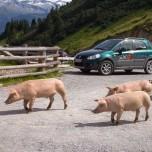 Schweine bei der Aualm