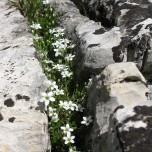 Mauerblümchen, Blumen in Felsspalte