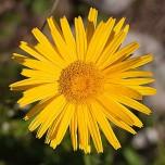 Leuchtendes Gelb einer Blume