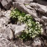 Überlebenskünstler - Blühende Pflanze auf Geröll