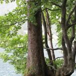 Mächtige Wurzeln am Bergsee