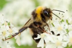 Nektarsammlerin - Biene auf weißen Blüten