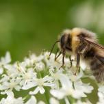 Biene auf weißen Blüten