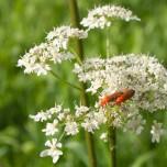 Rote und andere Käfer auf weißen Blüten