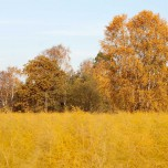 Goldenes Spargelfeld - Goldene Birke im Herbst