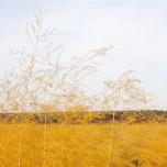 Goldenes Spargelfeld