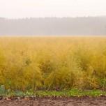 Herbstliche Stimmung mit gelbem Spargelfeld