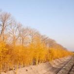 Spargelreihe in Gelb