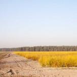 Goldenes Spargelfeld am Wald