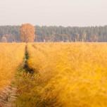 Goldener Spargel mit goldener Birke in der Abendsonne