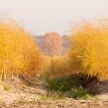 Blick durch eine goldene Spargelreihe